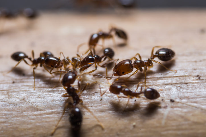 How to Get Rid of Ants in the Kitchen - Exterminator Mississauga